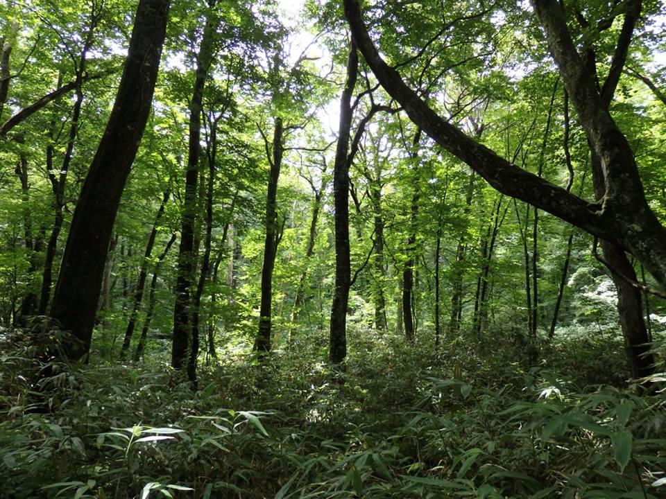 白神山地のブナ原生林