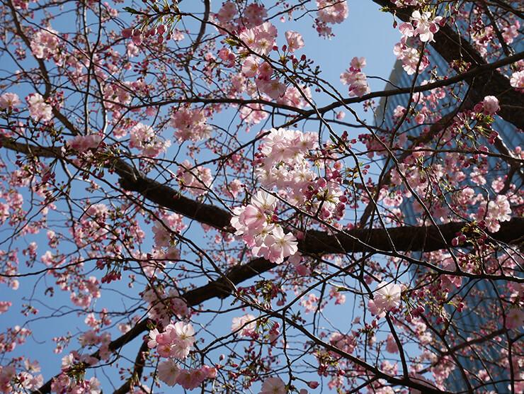 花びらの色が濃い桜
